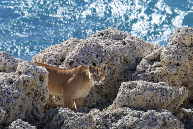 A male cougar at the rocky shore of a lake at Torres del Paine National park. Patagonia, Chile